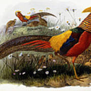 Golden Pheasants Art Print