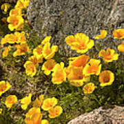 Golden Poppies Among Rocks Art Print