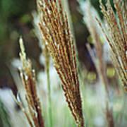 Golden Reeds Art Print