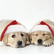Golden Reriever Puppies, 7 Weeks Old Art Print