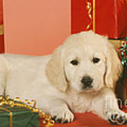 Golden Retriever Amongst Presents Art Print