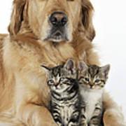 Golden Retriever And Kittens Art Print
