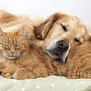Golden Retriever And Orange Cat Art Print