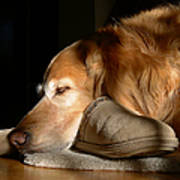 Golden Retriever Dog With Master's Slipper Art Print by Jennie Marie Schell
