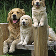 Golden Retriever Dog With Puppies Art Print