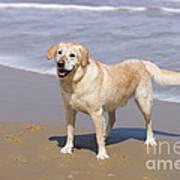 Golden Retriever On Beach Art Print
