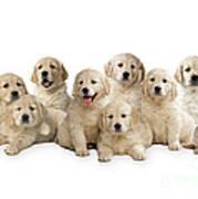 Golden Retriever Puppies, In A Line Art Print