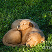 Golden Retriever Puppies Sleeping Art Print by Linda Freshwaters Arndt