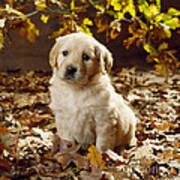 Golden Retriever Puppy Dog In Fallen Art Print