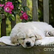 Golden Retriever Puppy Sleeping Art Print
