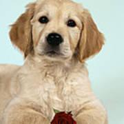 Golden Retriever Puppy With Rose Art Print