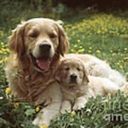 Golden Retrievers Dog And Puppy Art Print