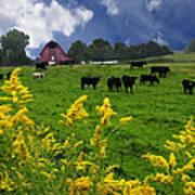 Golden Rod Black Angus Cattle  Art Print