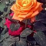 Golden Rose Art Print