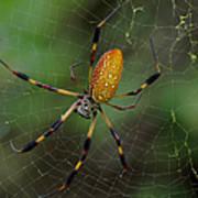 Golden Silk Spider 10 Art Print