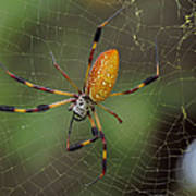 Golden Silk Spider 9  Art Print