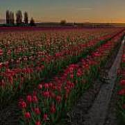 Golden Skagit Tulip Fields Art Print