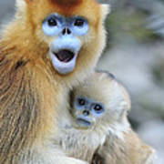 Golden Snub-nosed Monkey And Young China Art Print