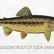 Golden Trout Of Soda Creek Art Print by Aged Pixel