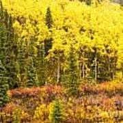 Golden Yellow Fall Boreal Forest In Yukon Canada Art Print