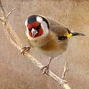 Goldfinch Male Carduelis Carduelis Art Print