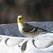 Goldfinch On Bird Bath Art Print
