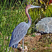 Goliath Heron By Water Art Print