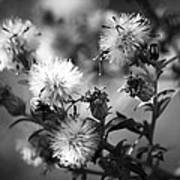Gone To Seed Wild Aster Art Print
