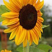 Good Morning Sunshine - Sunflower Art Print