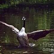 Goose Shaking Its Wings. Art Print