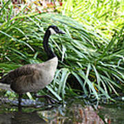 Goose Walking Back In For A Swim Art Print