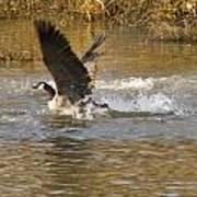 Goose Water Landing Art Print