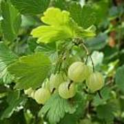 Gooseberries Art Print