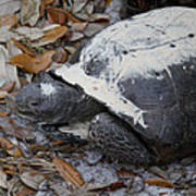 Gopher Tortoise Close Up Art Print