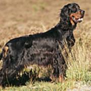Gordon Setter Dog Art Print