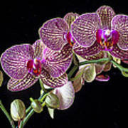 Gorgeous Orchids Art Print