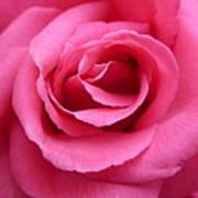 Gorgeous Pink Rose Art Print
