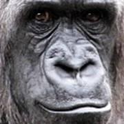 Gorilla - Jackie Art Print