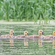 Goslings All In A Row Art Print