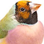 Gouldian Finch Erythrura Gouldiae Art Print