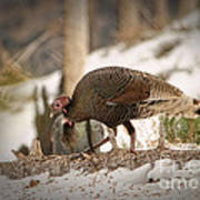 Gould's Wild Turkey Vix Art Print