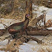 Gould's Wild Turkey Xiii Art Print