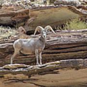 Grand Canyon Big Horn Sheep Art Print