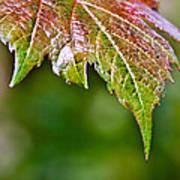 Grape Autumn Leaf Art Print