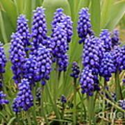 Grape Hyacinth Art Print