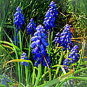 Grape Hyacinths 2014 Art Print