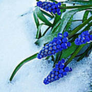 Grape Hyacinths In Snow Art Print