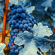 Grapes - Blue  Art Print by Hannes Cmarits