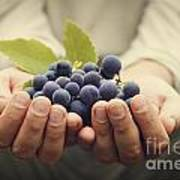 Grapes Harvest Art Print by Mythja  Photography