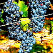 Grapes On The Vine Art Print by Kay Gilley